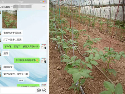 番茄苗上叶面喷施什么肥料好?