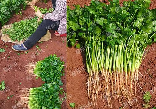 香菜长得好选择什么厂家肥料好,稼乐夫微生物菌剂