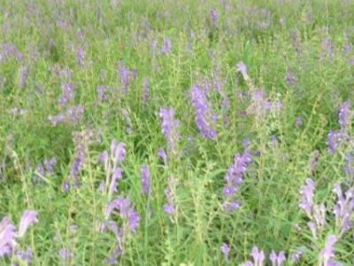 黄芩用什么肥料可以生根?黄芩用什么微生物肥料好?