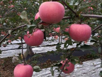 苹果树月子肥施什么肥料好?