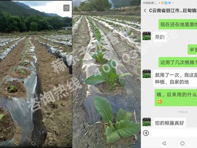 云南丽江市玉龙县烟叶种植户和经理——稼乐夫水溶肥客户案例
