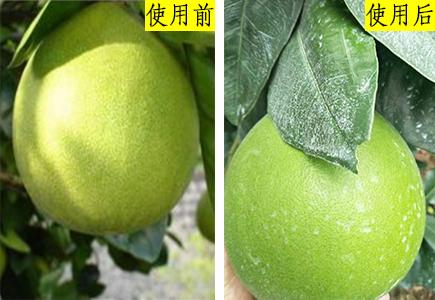 福建柚子种植户赵经理