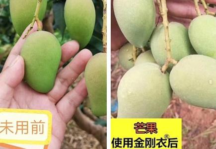 四川攀枝花芒果种植户孙经理