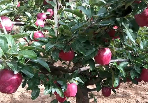 施用了稼乐夫高钾水溶肥的苹果,稼乐夫高钾水溶肥厂家