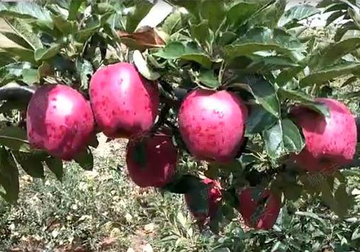 苹果上施用高钾水溶肥效果,稼乐夫水溶肥