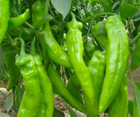 辣椒上使用稼乐夫肥料