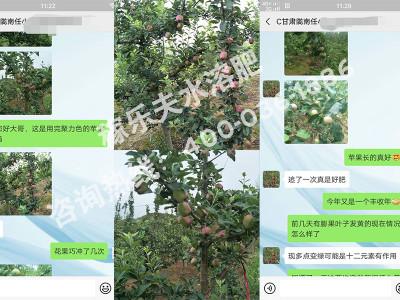 甘肃陇南苹果种植户任大哥——稼乐夫水溶肥客户案例