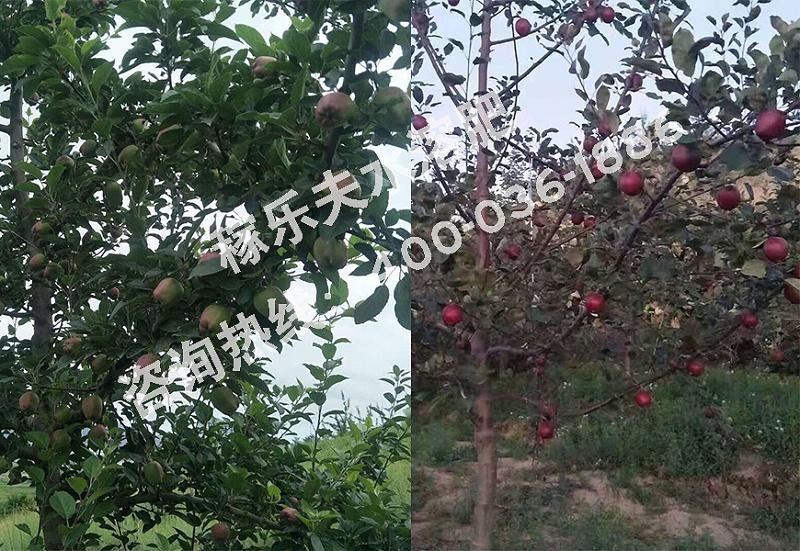 甘肃陇南苹果种植户任大哥