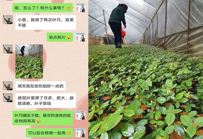广西百色山豆根种植户黄经理