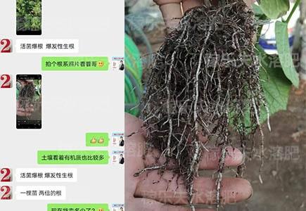 什么肥料促黄瓜生根好?
