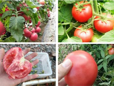 江苏淮安番茄种植户顾经理
