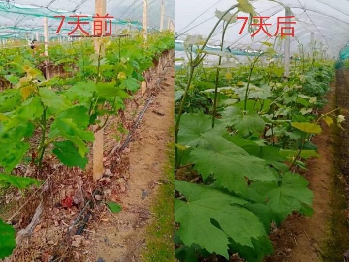 葡萄施什么肥料长得好?