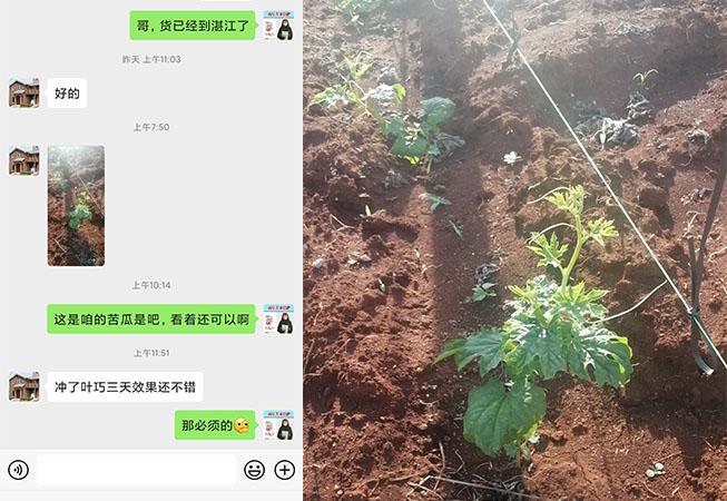 广东湛江苦瓜种植户黄大哥