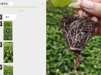 茄子苗怎么做生根多?