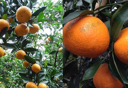 柑橘橙子施肥效果反馈