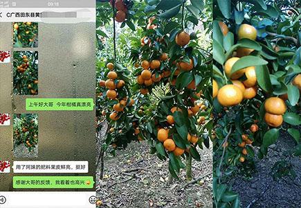 广东柑橘施用稼乐夫水溶肥效果