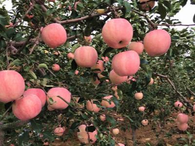 苹果上如何选择效果好的膨果高钾肥?