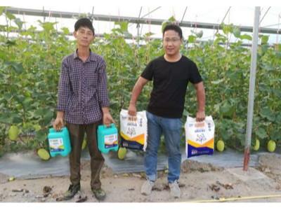 海南三亚哈密瓜种植户张经理——稼乐夫水溶肥客户案例