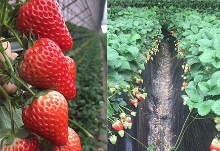 辽宁丹东草莓基地上使用