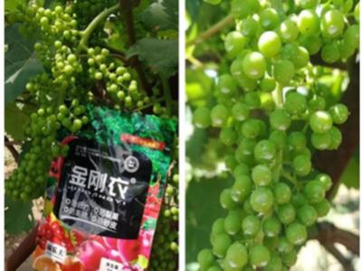 郑州荥阳葡萄种植户王经理——稼乐夫水溶肥客户案例