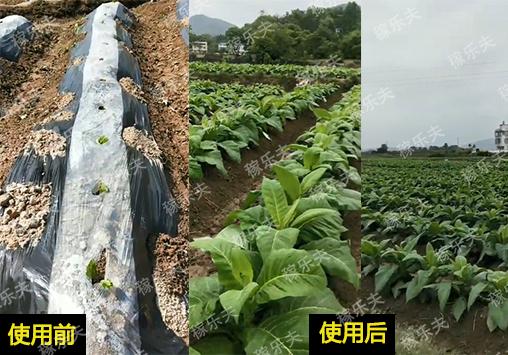 烟草用什么肥料促快长防病害,稼乐夫微生物菌剂