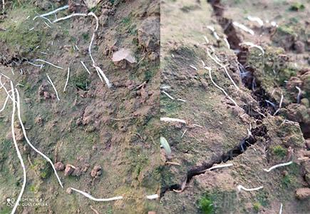 黄瓜苗定植用什么肥料白根多,稼乐夫微生物菌剂