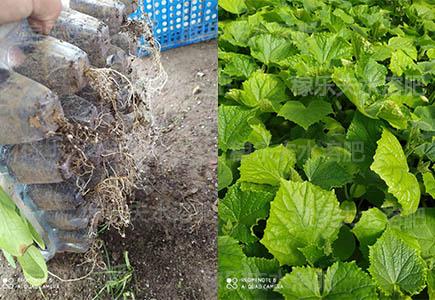黄瓜苗用什么肥料生根好长势旺,稼乐夫微生物菌剂