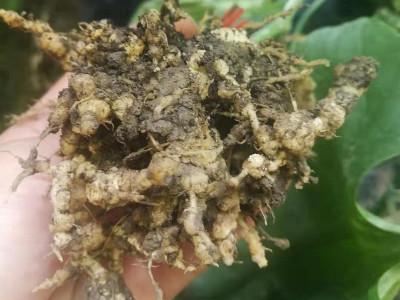 如何防治根结线虫病害?