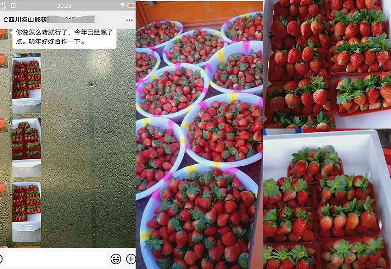 四川凉山草莓种植户熊经理