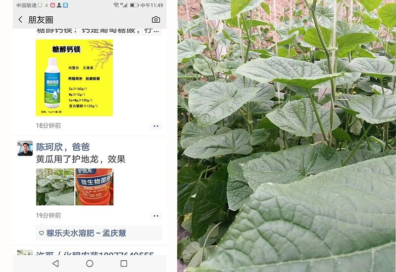 陕西咸阳黄瓜种植户陈经理
