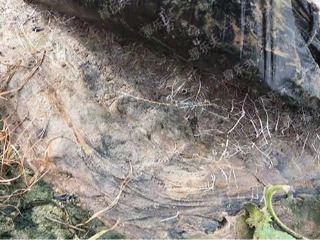 哈密瓜施用稼乐夫肥料地下白根多,稼乐夫生根微生物菌剂