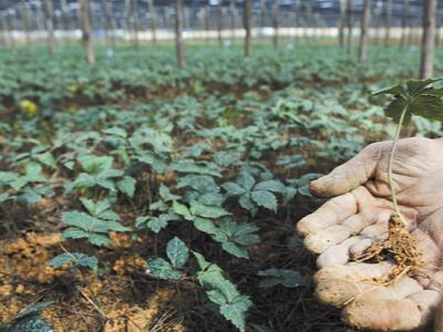 云南文山中药材三七种植户那经理——稼乐夫水溶肥客户案例