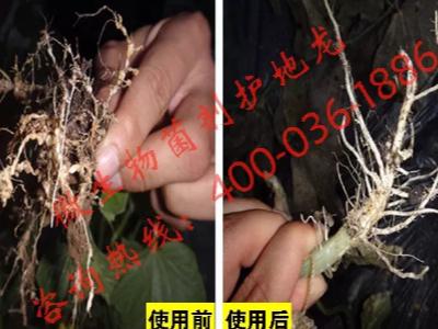 河北廊坊甜瓜种植户郭大哥——稼乐夫水溶肥客户案例