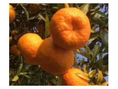 四川柑橘叶面肥用什么牌子转色增甜好?推荐稼乐夫叶面肥!
