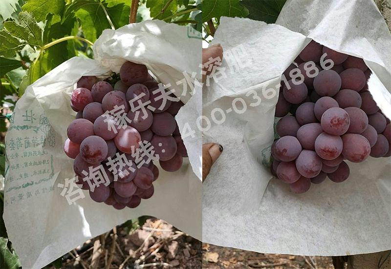 云南大理葡萄种植户杨经理