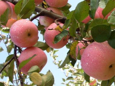 河北秦皇岛苹果种植户王经理——稼乐夫水溶肥客户案例