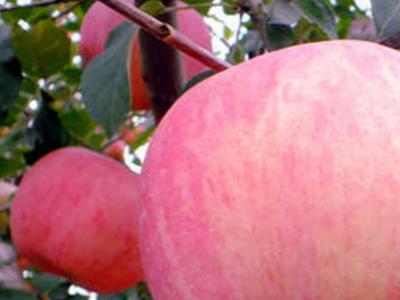 苹果树施肥过程中的注意要点