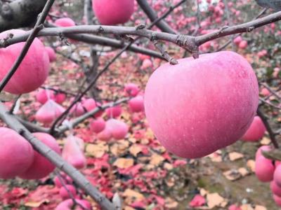 """苹果树根系的""""三次生长高峰期"""""""