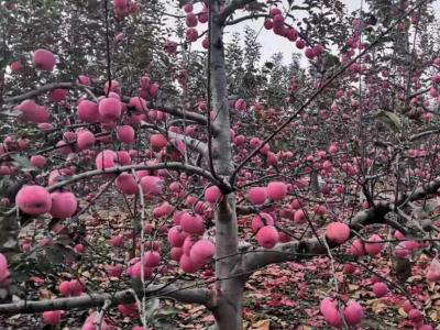 种植苹果过程中的各种缺素症状