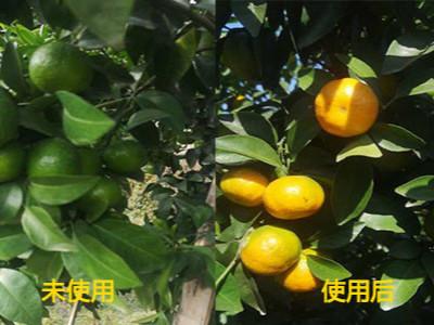柑橘树转色期怎么施肥?