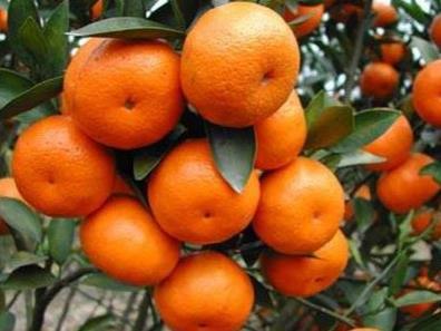 柑橘怎么促快速转色?