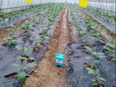 河北石家庄茄子种植户蔡经理-稼乐夫水溶肥案例