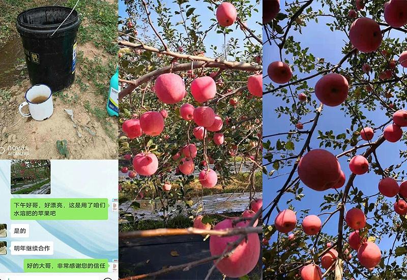 陕西韩城苹果种植户高经理