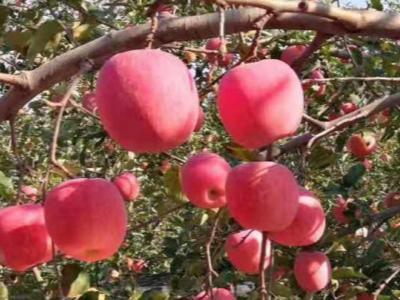 如何种植好苹果?了解苹果的年生长周期很重要