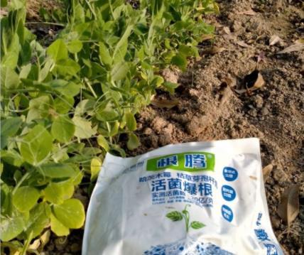 施用过根腾的荷兰豆