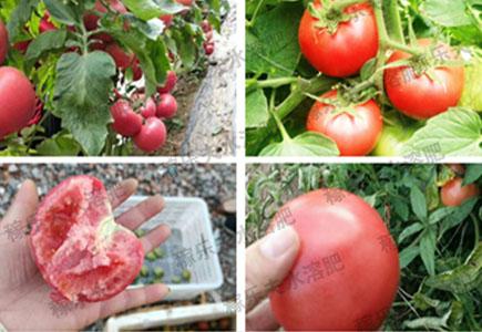 西红柿膨果期使用过稼乐夫水溶肥的效果