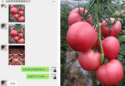 山东滨州番茄种植户程经理