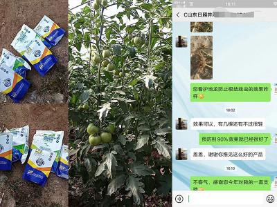 山东日照莒县番茄种植户井经理——稼乐夫水溶肥客户案例
