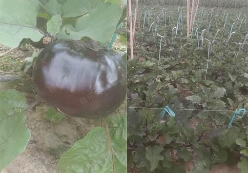 施用了稼乐夫水溶肥后的茄子效果
