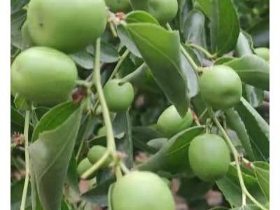 冬枣膨果期用什么肥?